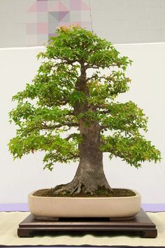 80 Year Old Bonsai | Trident maple - about 80 years old | Bonsai | Pinterest