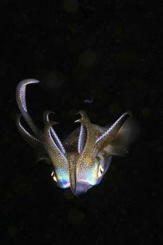 Luminescent Squid