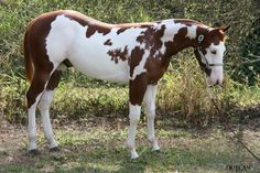 Platinum Lodge Paints & Quarter Horses breeding working paints and quarter horses. Baby Horses, Cute Horses, Draft Horses, Wild Horses, Andalusian Horse, Friesian Horse, Arabian Horses, All The Pretty Horses, Beautiful Horses