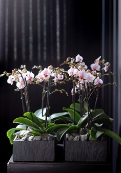 A dark planter creates a totally different feel to a pastel Phalaenopsis #houseplant #orchid