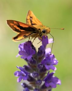 Yes, the skipper is a butterfly.