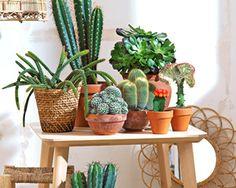 Les formes graphiques des plantes grasses sont un atout pour votre décoration. En boule ou longs, dressant leurs piquants, parfois fleuris, les cactus rivalisent de formes pour nous étonner.