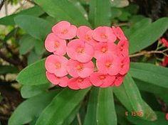 Euphorbia milii, Bem-casados, Coroa-de-cristo, Coroa-de-espinhos, Dois-irmãos, Martírios