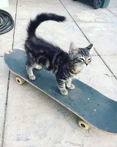 little boy can skate Cool Cats, I Love Cats, Baby Animals, Funny Animals, Cute Animals, Crazy Cat Lady, Crazy Cats, Gatos Cool, Animal Gato
