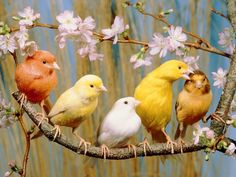 Five Colourful Canaries Sitting on a Branch with Blossoms Photographic Print