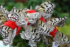 Black & White Butterflies On Red Flowers