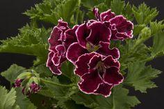 South American Bronze - regal geranium 2012 collection