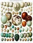 Vintage Bird Egg illustration