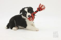 Border Collie Puppy with Rope Toy Photographic Print by Mark Taylor at Art.com