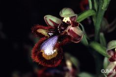 Ophrys Ciliata Orchid