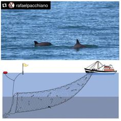 "#Repost @rafaelpacchiano ・・・ Today, Mexico banned the use of gill-nets to help protect the super endangered ""Vaquita Marina"". Mexico is the first country worldwide to fully ban the use of this type of net which basically destroys everything on its path. As you know, our Mexican President @epn and our Secretary of Environment and Natural Resources @rafaelpacchiano met 3 weeks ago with @leonardodicaprio to find a solution to help this super endangered mammal. I'm super happy that we banned…"