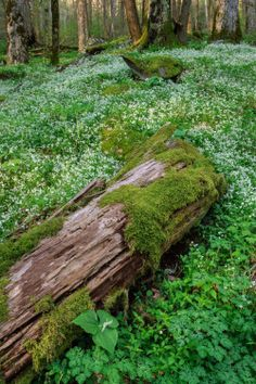 expressions-of-nature:Old Growth Forest with Trillium and Fringed PhaceliaBy: Andrew Young (example of how moss is on a log)