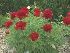 Gardening in the Zone: Peonies