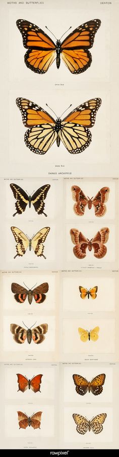 Free Cc0 Public Domain Erfly And Moth Ilrations From Our Own Original Edition Of Sherman