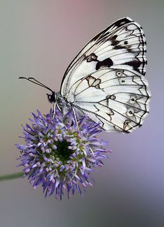 Marbled white butterfly by Jimmy Hoffman