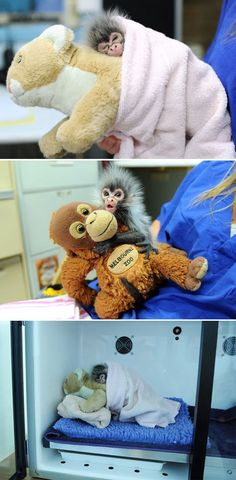 Baby monkey who was rejected by his mother, is comforted by toys.