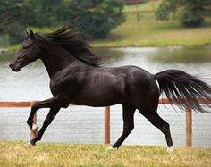 Dual-registered Kentucky Mountain and Rocky Mountain black mare Zwarte. The two gaited breeds share the same heritage - it is really just the registries that set differing standards. For example, the Kentucky Mountain registry is less rigid on minimum and maximum height, as well as how much white a horse can express. photo: Hypo Focus Paardenfotografie.
