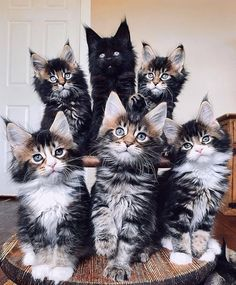 Big Animals, Cute Baby Animals, Funny Animals, Cutest Kittens Ever, Cute Cats And Kittens, Beautiful Cats, Animals Beautiful, Maine Coon Kittens, Norwegian Forest Cat