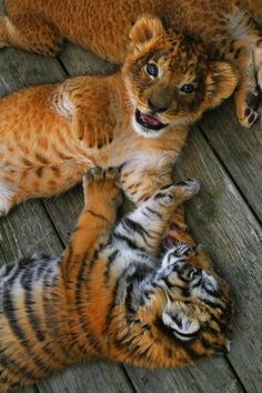 """A Lion And A Tiger Cub ~ """"Happily Playing Together."""" (Another Lion Cub lies in the background.)"""