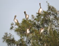 Venice Florida Pelicans At The Jetty's-I've never seen a flock of pelicans resting in the trees like this. Usually they relax on pilings or docks. This is a rare sight to see pelicans sitting in Australian pine trees. I took this pic in Venice Florida. All images on my website are 100% royalty FREE!