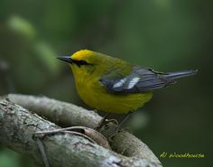 The Blue-Winged Warbler.  My first official recording June 3, 2003 - Point Pelee National Park, Essex County, Ontario. [Photo by Al Woodhouse]