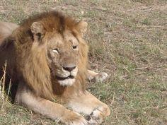 King of the Masai Mara, Kenya
