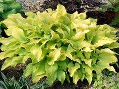 Hosta Sun Power - Slug-proof bright yellow-leaved Hosta is sun tolerant! Thrives with Heucheras, Ophiopogon, & Hydrangeas.