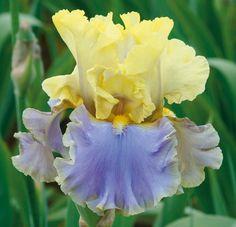 'Bollywood' - Tall Bearded Iris