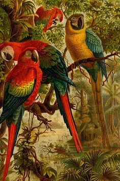 Macaws. High quality vintage art reproduction by Buyenlarge. One of many rare and wonderful images brought forward in time. I hope they bring you pleasure each and every time you look at them.