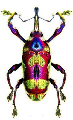 Alcidodes subcuprinus                                                                                                                                                                                 More