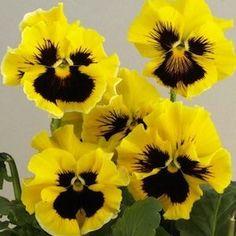 Bolero Golden Pansy - Annual Flower