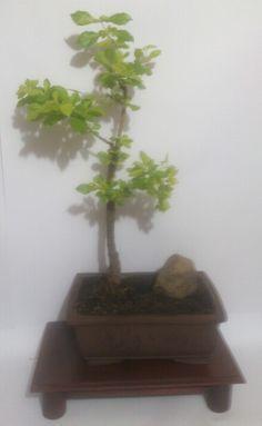 Bonsai bogota giovanny mendoza movil :3125874074. Email :majesticflowers.sas Mendoza, Bonsai, Herbs, Plants, Herb, Plant, Planets, String Garden, Medicinal Plants