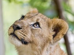 Cute cub looking upwards
