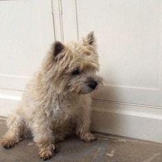 Billy #Cairn #terrier #dog #cute