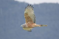 Circus approximans - Peter Murrel - Swamp harrier - Wikipedia, the free encyclopedia