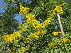 I spent 12 months focused on goldenrod (Solidago) in 2010/2011. I had worked with goldenrod for several years prior to this intense study, so I thought we had developed a really good relationship; …