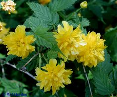 K is for Kerria japonica.  I got a free slip of kerria from a friend.  I heard that the shrub could get invasive, so I planted it in an out-of-the-way spot by the garage.  My husband smothered it under a pile of old windows... maybe we'll try again when the coast is clear.  Sigh.