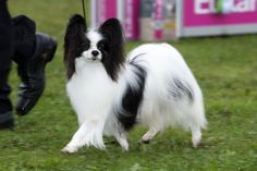 Toymaker kennel, one of the top Papillon kennels in Europe. Papillion Puppies, Papillon Dog, Yorkie, Chihuahua, Animals And Pets, Cute Animals, Dogs And Puppies, Doggies, Dog Activities