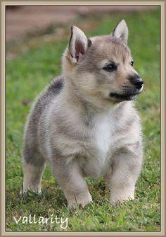 Swedish Vallhund puppy - Dogzonline