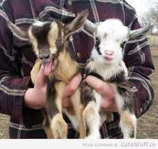 Image result for ADORABLE GOATS