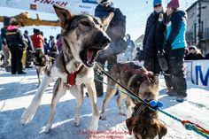 A Jeff King dog is still very eager to run after finishing the Iditarod in the Nome finish chute on Tuesday March 15th during the 2016 Iditarod. Alaska Photo by Jeff Schultz