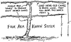 Best illustration I could find. Tree Pruning, Planting Roses, Old Ones, Wine Making, Grape Vines, Gardening, Trees, Illustration, Allotment