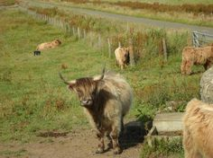 Scotland: highland cattle (1) From: Trip Advisor, please visit
