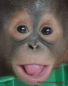 Awww!!BUDI the baby orangutan!