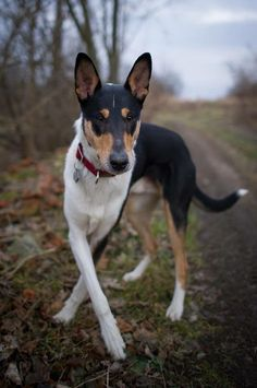 Nice Dogs, Smooth Collie, Farm Dogs, Richard Gere, Life Goals, Dream Life, Animal Drawings, Dog Pictures, Best Dogs