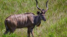 A kudu (a type of large antelope) in South Africa