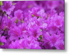 Blooming Rhododendron Purple Triumph Metal Print by Jenny Rainbow. All metal prints are professionally printed, packaged, and shipped within 3 - 4 business days and delivered ready-to-hang on your wall. Choose from multiple sizes and mounting options. All Flowers, Beautiful Flowers, Got Print, Botanical Gardens, Fine Art Photography, Home Art, Fine Art America, Bloom, Framed Prints