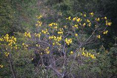 Cochlospermum vitifolium   by JoanZoniga- Cochlospermum vitifolium  Poroporo Tree Cochlospermum vitifolium Bixaceae Santa Cruz - Gte.