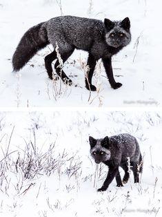 Gallery: Black Fox