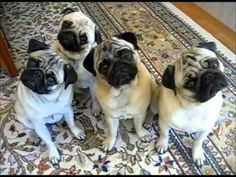 4 Pugs Doing Head Tilts - Way Too Funny